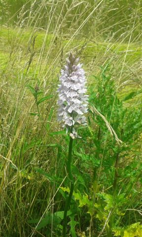 wilde Orchidee im Flachs