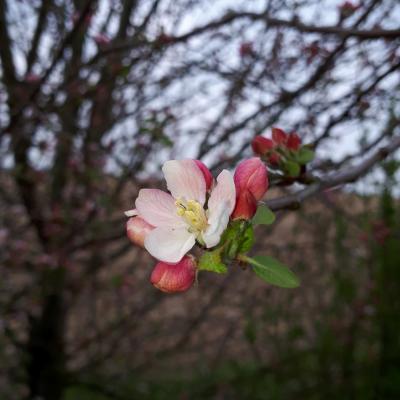 April 2019 - Apfelblüte