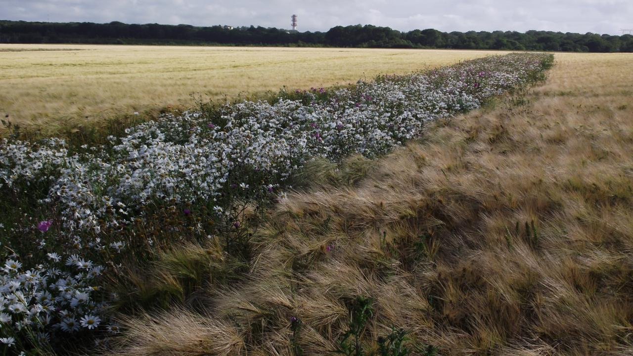 Grünstreifen im Getreide