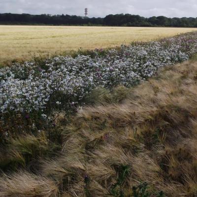 bande fleurie dans les céréales