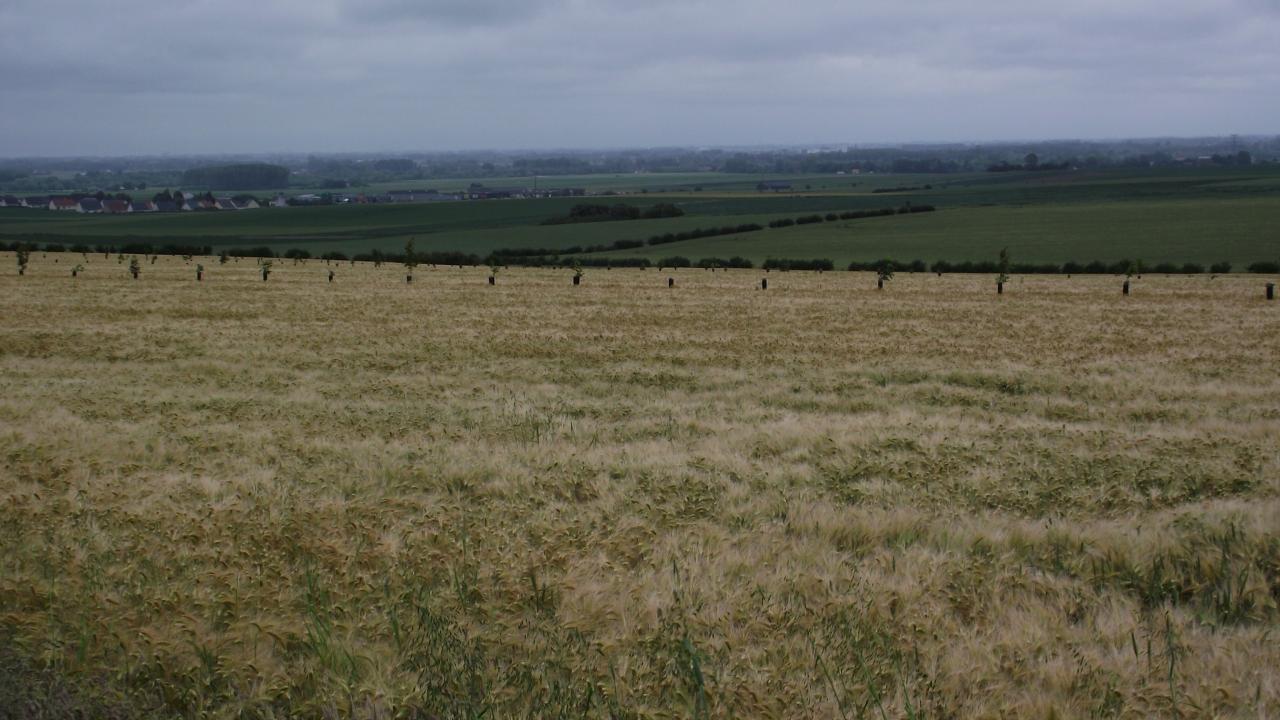 céréales agroforestières