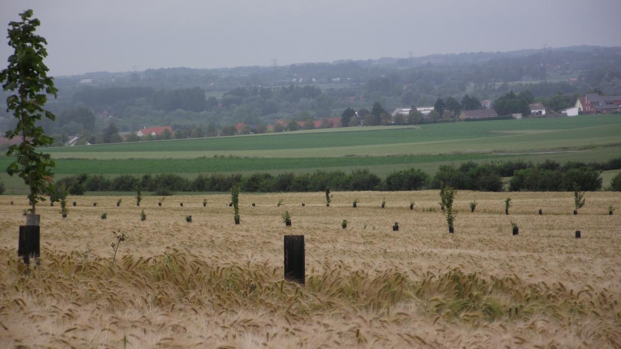jeunes arbres dans les céréales