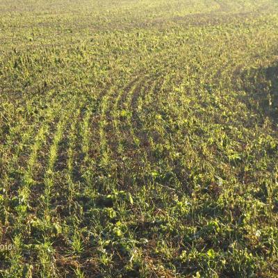 Direktsaat Weizen etwas später