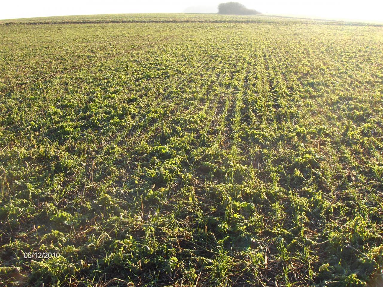Direktsaat Weizen nach ca. 2 Monaten