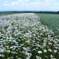 2011 06 10 prp bas volume a vront bandes fleuries m lefebvre 013