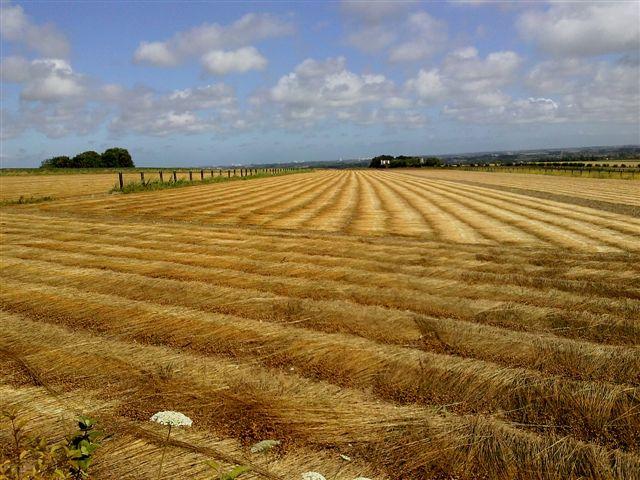 Lin en agroforesterie